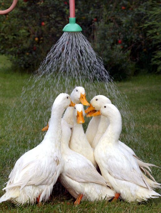 Watering ducks